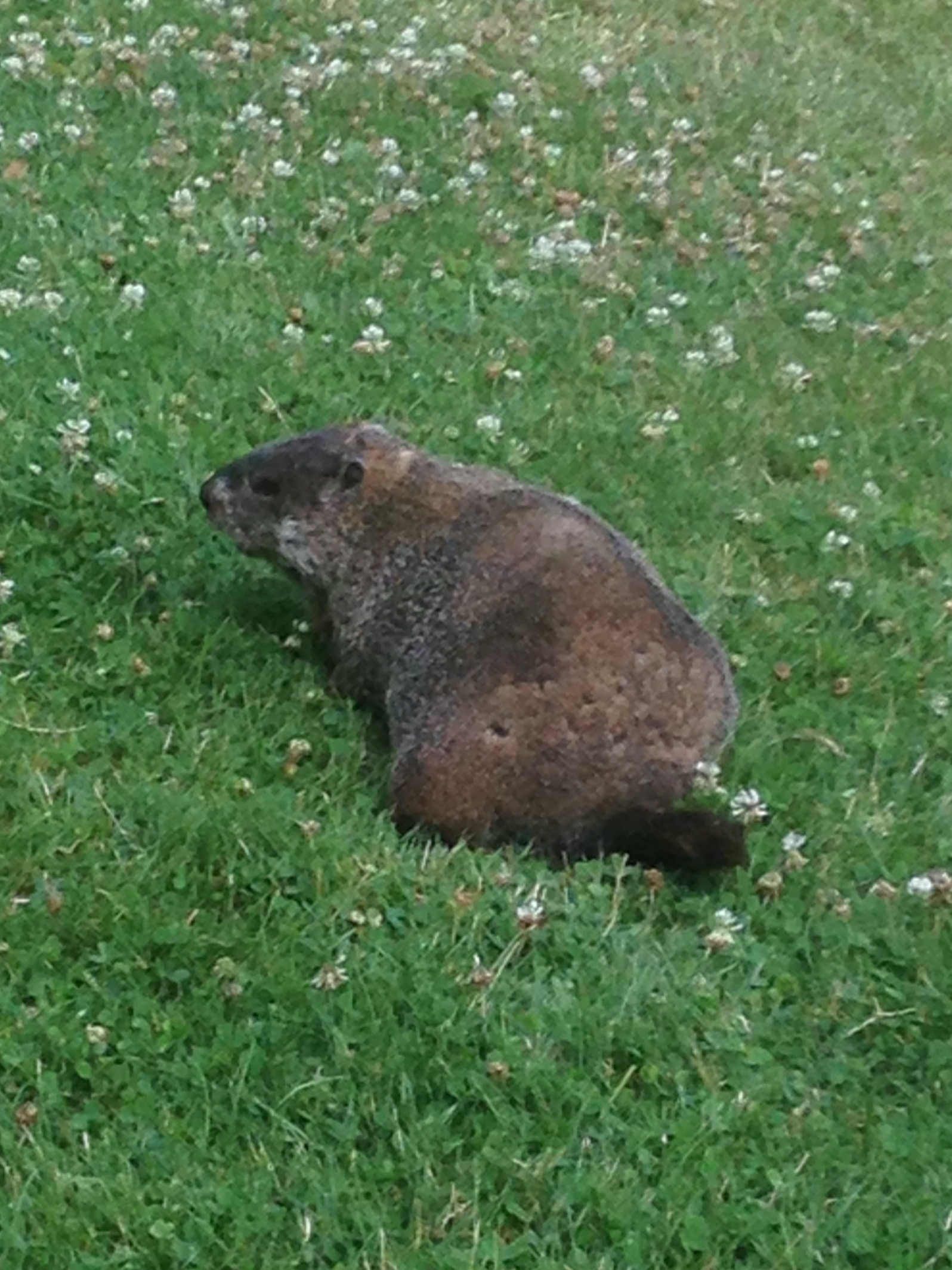 Male groundhogs establish territories. They will mate with the females on their territory, visiting the dens often through the gestation period. Once the young are born, the male does not return until the next breeding season.