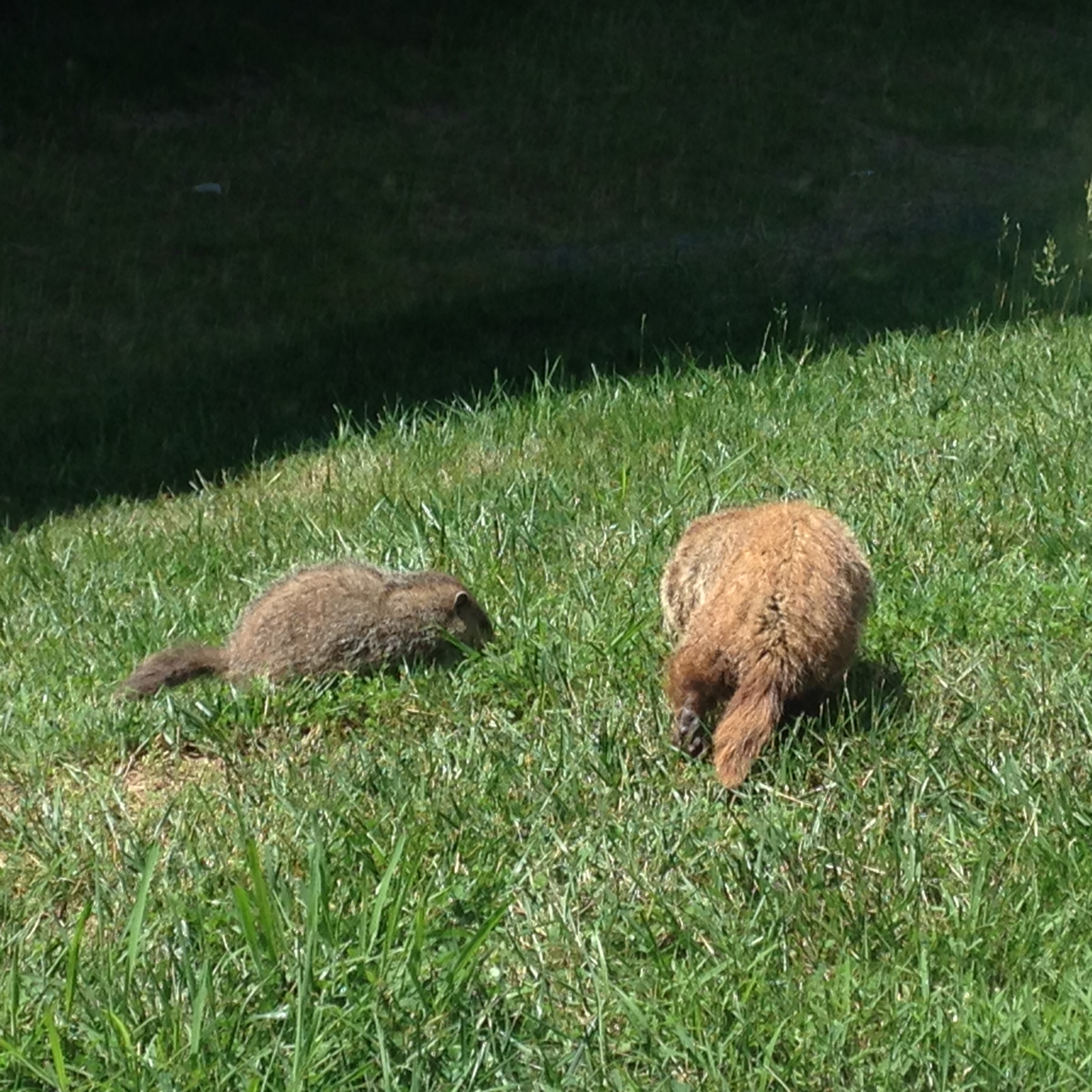 A mother and baby groundhog-the mothers seem to have a redder color.